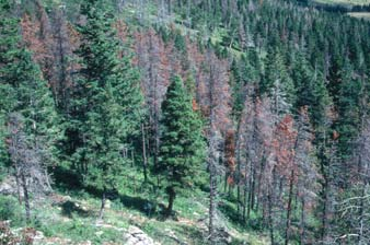 Red Trees killed by Mountain Pine Beetle