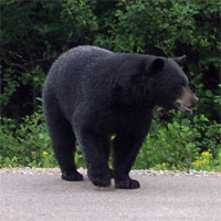 A black bear along the side of the Trans Canada Highway