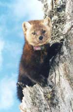 NL Marten with a radio collar around the neck