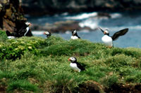 Atlantic Puffins nest on a wall of protected sea stack that can be viewed up close from Spillar's Cove Trail