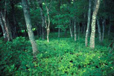 A view of the Acadian forest understory. Enough sunlight reaches the forest floor to support lush vegetation.