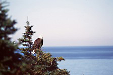 A bald eagle sits amidst some trees, surveying the ocean.