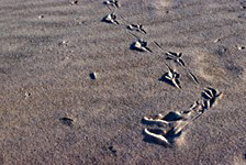 Animal tracks in the sand of one of the park's beaches.