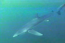 A blue shark swims in the sea near Nova Scotia.