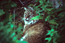 A bobcat takes a break in the brush of the Acadian forest.