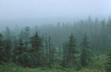 A view of the boreal forest, veiled by fog.