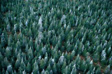 An aerial view of the boreal forest with a mixture of live fir trees and dead ones killed by spruce budworm.