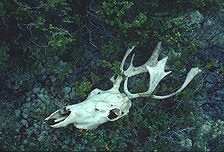 A caribou skull lies on a bed of mosses and lichens