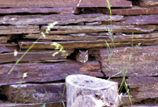A chipmunk peers out its doorway in a stone wall.