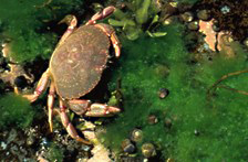 A rock crab sits in the green algae of a tidal pool along with some periwinkles.