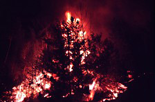 A forest fire incinerates a stand of softwood trees.