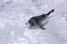 A young harp seal has come up on to land in the winter.