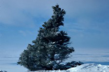 A black spruce tree that has grown lopsided due to the harsh climate of the Taiga.