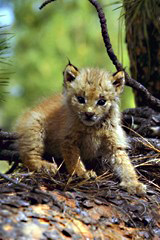 A very young lynx kitten clambers over an embankment.