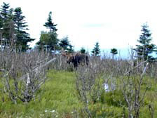 A moose browses off Skyline Trail where much of the regenerating forest is being killed by overbrowsing.