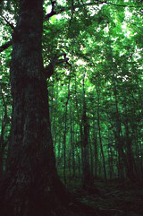 A view under the canopy of an old-growth hardwood forest.