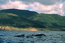 A small family group of pilot whales swims off the western shore of Cape Breton.