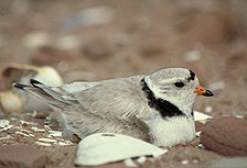 An adult piping plover sits on its nest.