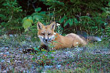 A red fox crouches, sphinx-like, on the gravel shoulder of a road.