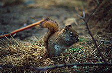 A red squirrel nibbles on seeds on the forest floor.