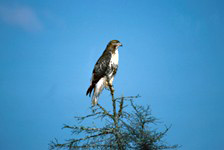 A juvenile red-tailed hawk perches in the top of a tree, looking for prey animals.
