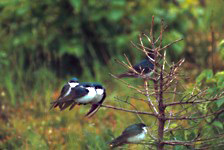 A small group of tree swallows perches in a dead black spruce tree in the Taiga.