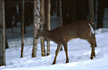 A male white-tailed deer picks its way through the snow.