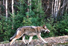 A wolf trots along an old roadbed.