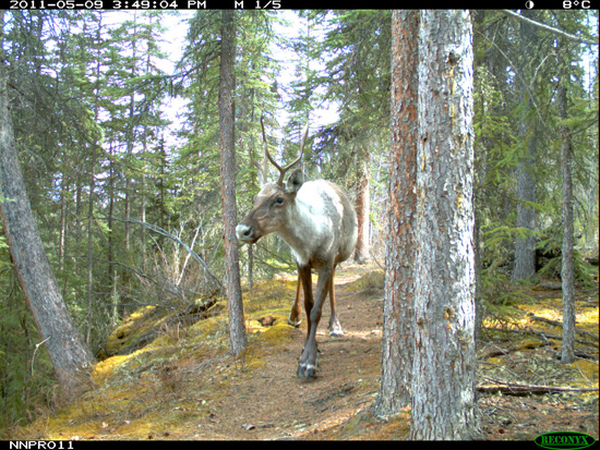 Caribou in Nahanni National Park Reserve