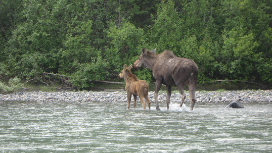 Mother and calf moose in Nahanni National Park Reserve