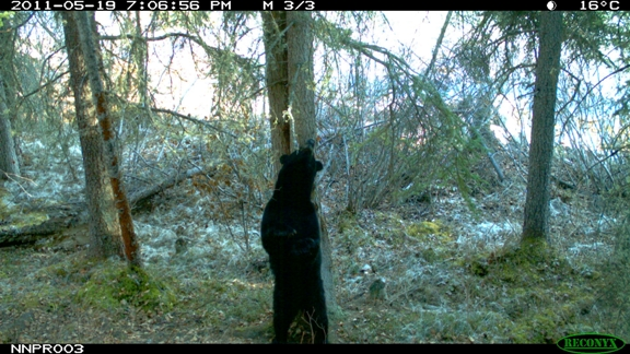 BlackBear on Rub Tree