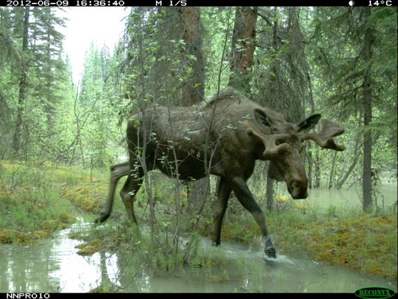 Bull Moose with velvet in flood waters