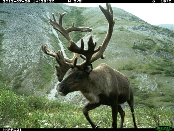 Bull Caribou with velvet on antlers