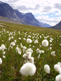 One-spike cotton grass