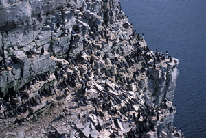 Colony of common murres