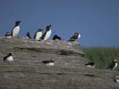 Atlantic Puffins and Razorbills standing on top of a rocky cliff