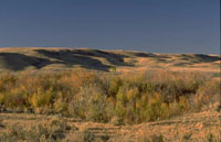 A coulee jammed with stunted poplar trees and the edges of the rolling hills tucked behind.