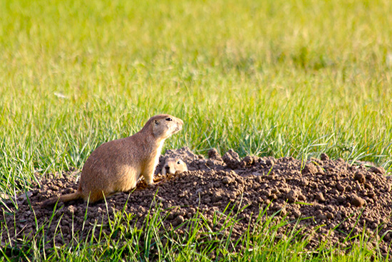 A Black-tailed prairie dog sits atop a burrow while a second prairie dog peeks out.