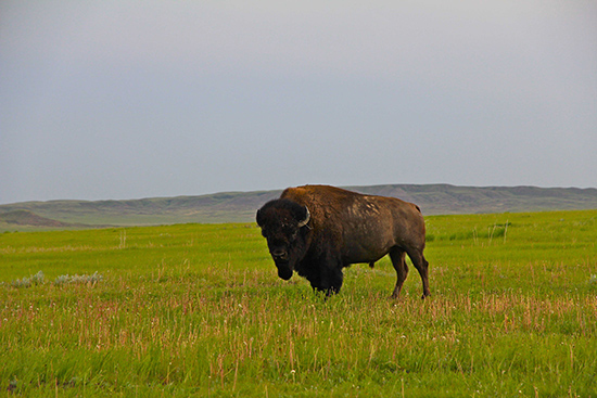 A lone bison stands in the grass.