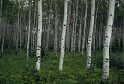 Aspen forest in summer.