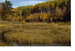 Aspen forest in autumn with marsh.