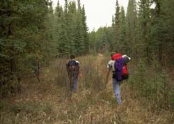 Two backpackers on trail through spruce forest.