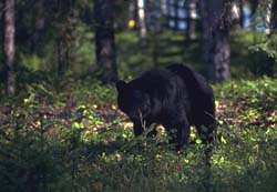 Adult black bear in forest.