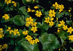 Marsh marigold flowers and foliage close up.