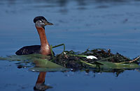 Red-necked grebe at nest on water.