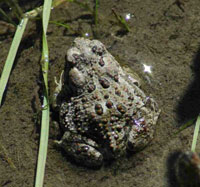 Canadian toad.