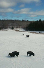 Plains bison in PANP.