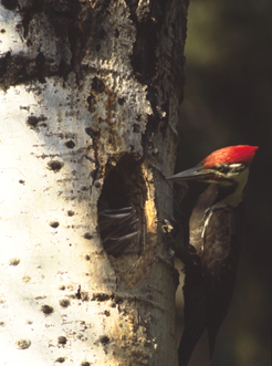 Pileated woodpecker feeding young at nest hole in aspen tree.