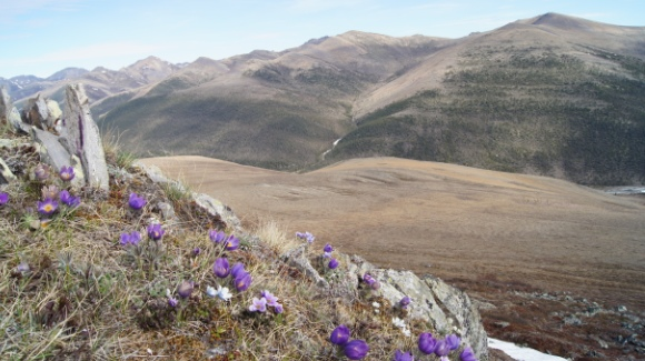 Wild Crocus flowers scatter the top of Inspiration Point