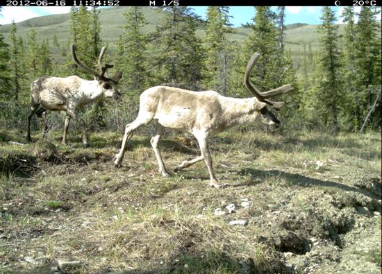 Two bull caribou